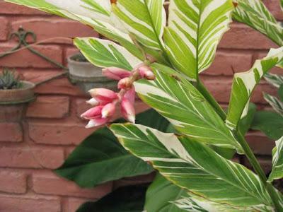 Mis plantas ornamentales en trujillo per for Plantas ornamentales del peru