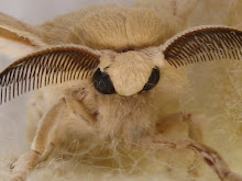 Mariposa de la seda de raza egipcia