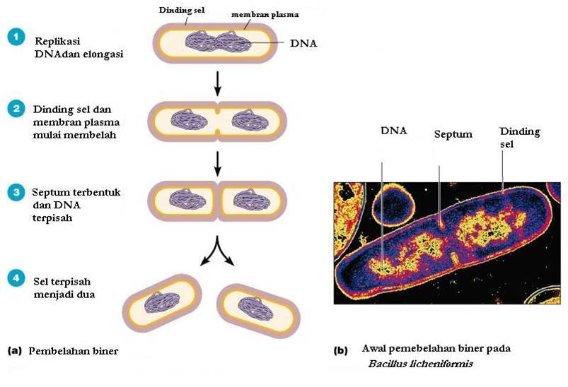 60 >> Pembelahan biner bakteri | ANAK ACSIG