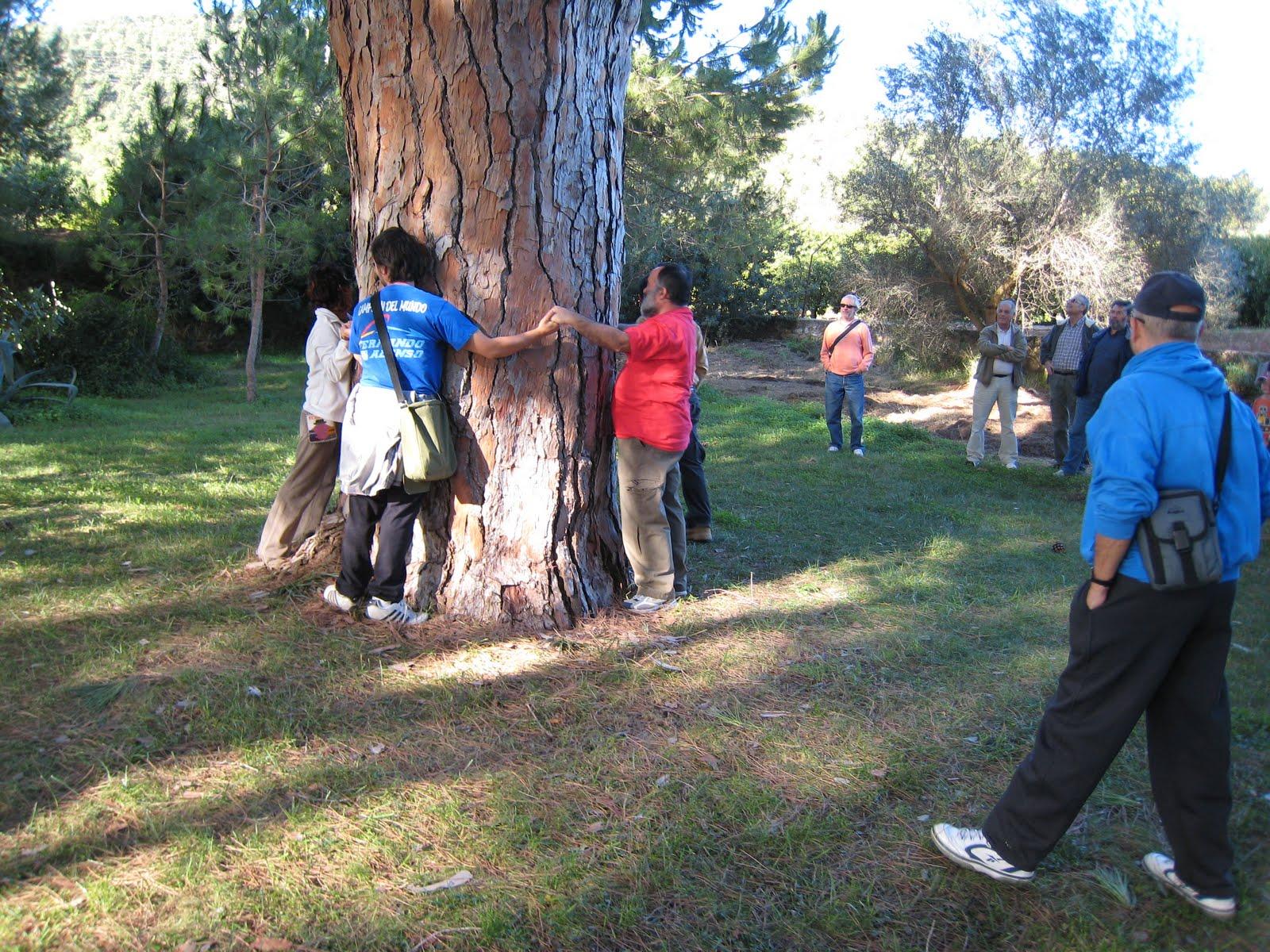El Pino Monumental en Porxinos que separa Riba-roja de Vilamarxant