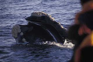 right whale in Valdes Peninsula