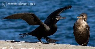 Neotropic Cormorant in Peninsula Valdes
