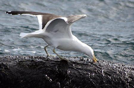 gulls feeding off whales in Peninsula Valdes