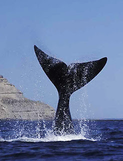 Patagonia Whale watching - Official 2010 open season in Valdes Peninsula