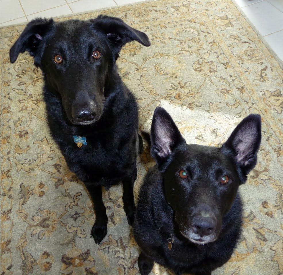 German Shepherd Black Lab Puppy