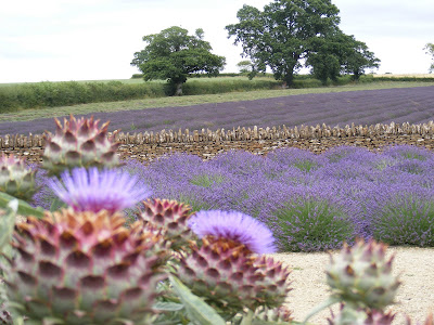 Artichokes and lavender at Somerset Lavender