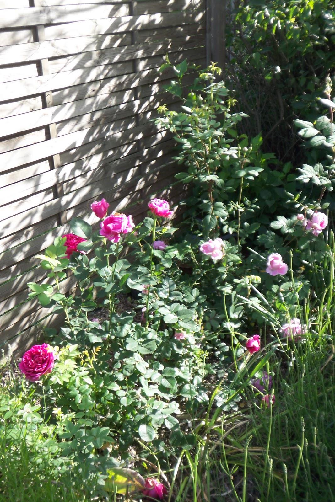 Rose und Lavendel Austin Rosen