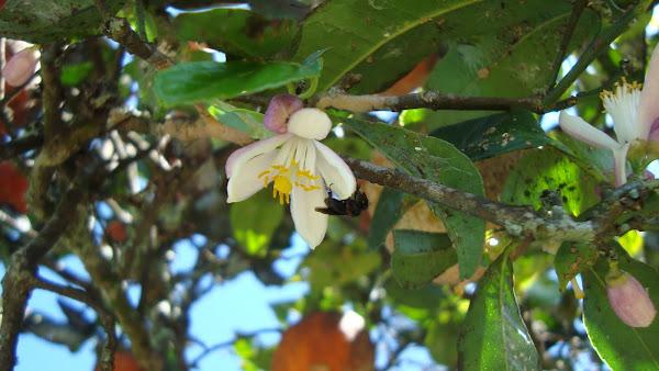 trigona na flor do limão cravo
