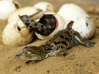 nile crocodiles, crocodiles hatching, baby crocodiles, baby crocodiles hatching, eggs crocodiles, crocodiles communicate