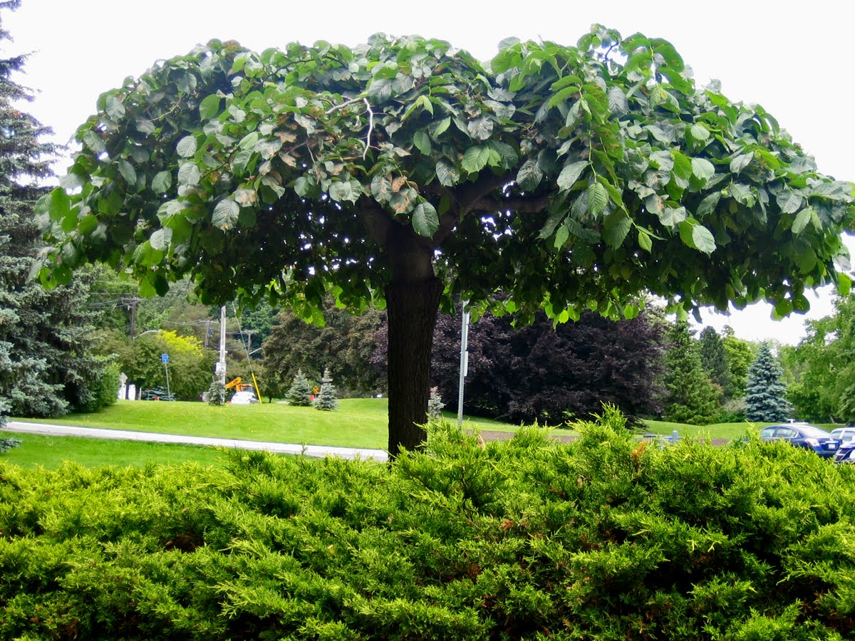 pictures of umbrella trees