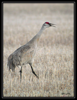 Sandhill Crane, Anne Cook