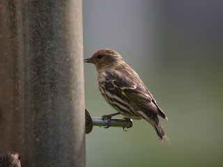 Pine Siskin