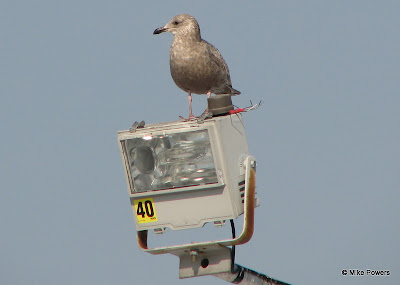 First-cycle Herring Gull