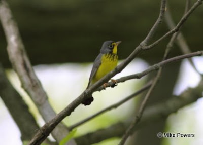 Canada Warbler