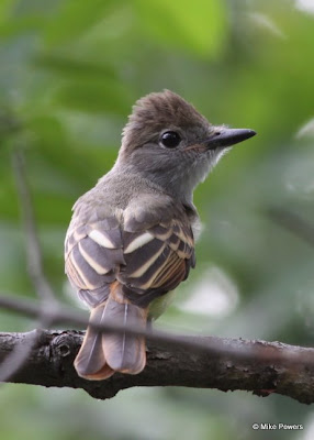 Fledgling Great Crested Flycatcher