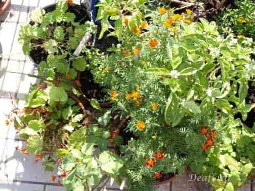 aromag rtnerei deaflora essbare bl ten auf dem balkon begonie orange. Black Bedroom Furniture Sets. Home Design Ideas