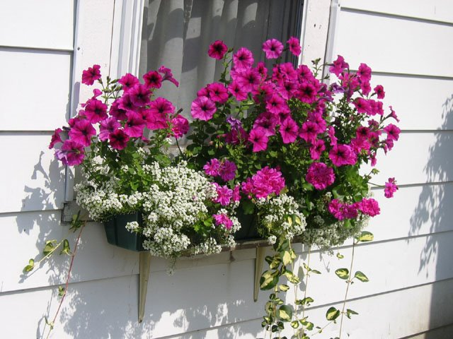 best bright window box tolerant blooms