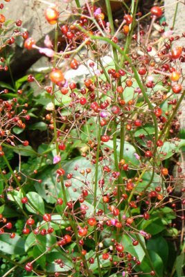 Curiosidades sobre beldroegas Flor+de+beldroega+grande
