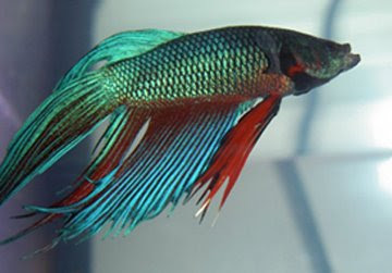 Bright colored betta fish vibrant healthy bettas fish care for Healthy betta fish