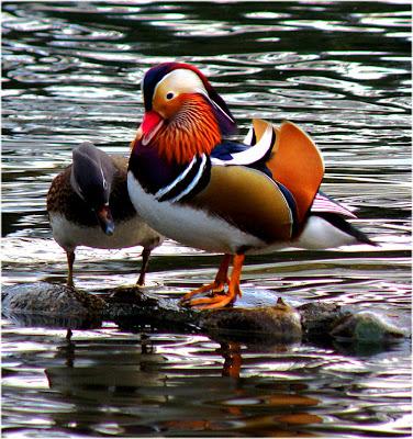 uno de mis animales favorito es el - Pato mandarin Pato-mandarin