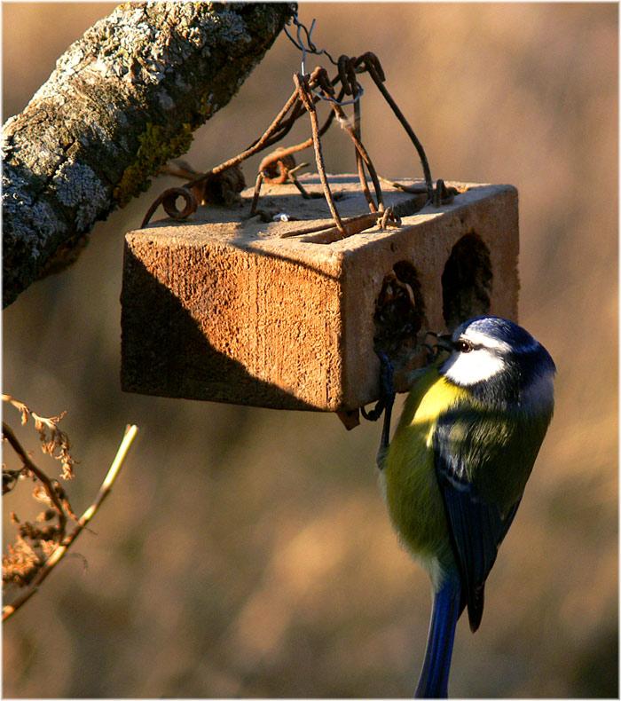 Foto natura huesca 2 comedero de aves herrerillo - Cepos para ratones ...
