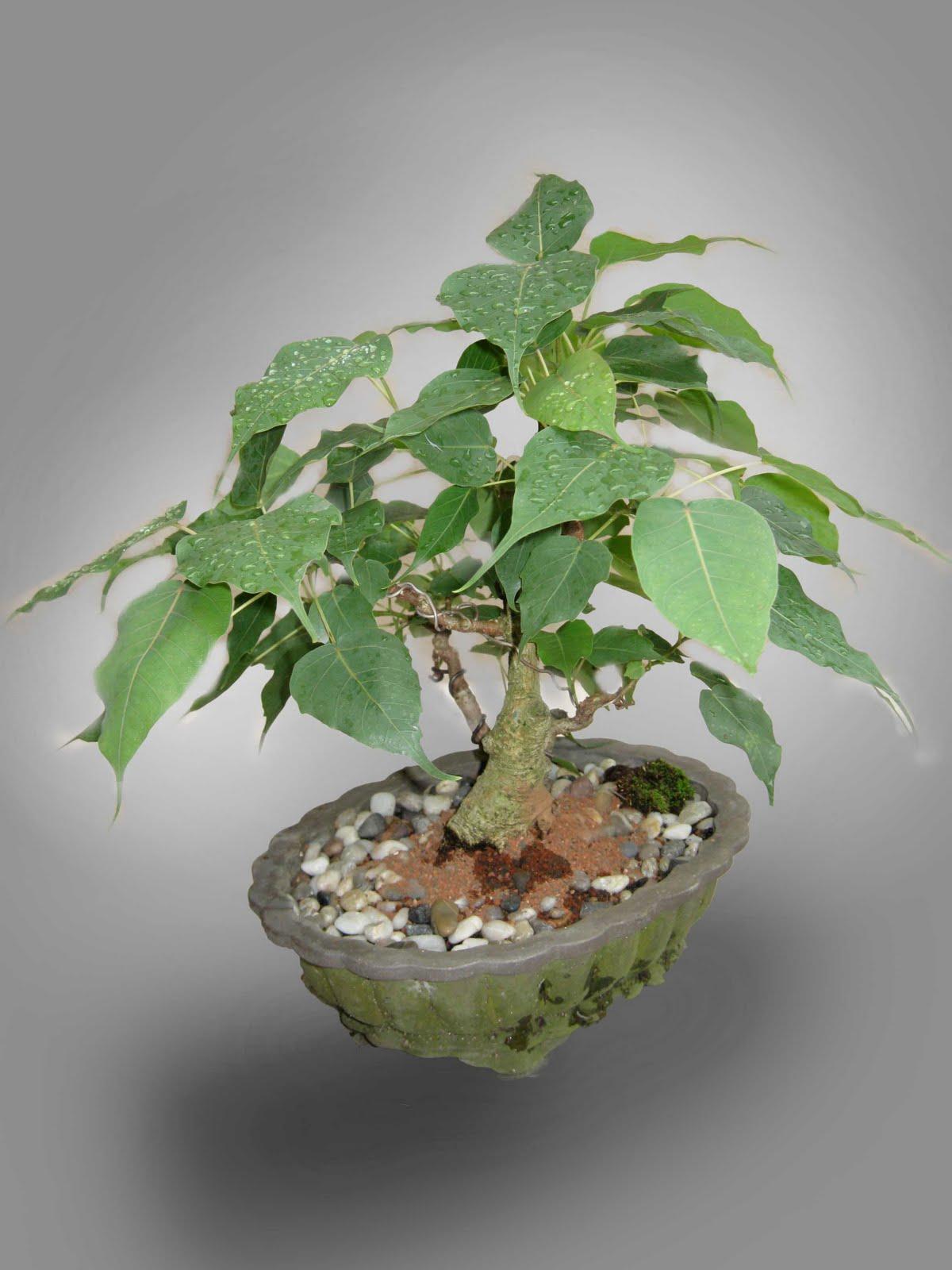 Bonsai Guru Fig Tree