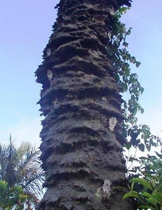 Tronco de coqueiro cheio de Aramãs (Partamona gregaria).