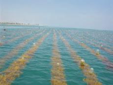 Rumput Laut dipelihara di Laut