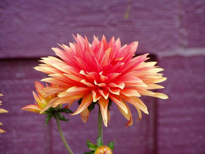 sunhusky's alaska more pretty flowers, yellow and otherwise, Beautiful flower