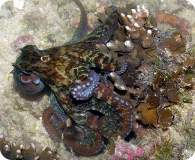 Octopuses are very commonly encountered on our reefs, especially at night