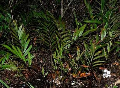 Acrostichum speciosum _DSC4872m6