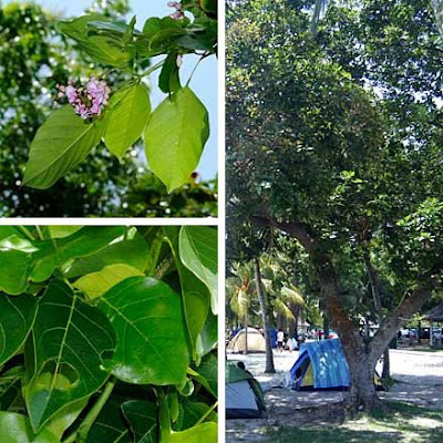 Ailanthus Excelsa Tree Of Heaven also Reetha additionally Dont Amend Kpta To Fell 30 More Tree Types likewise Nature C  To Greater Rann Of Kuchchh furthermore Tree Species For Tamil Nadu. on ailanthus excelsa 1 2