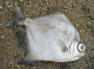 wild shores of singapore: A closer look at dead fish found on ...