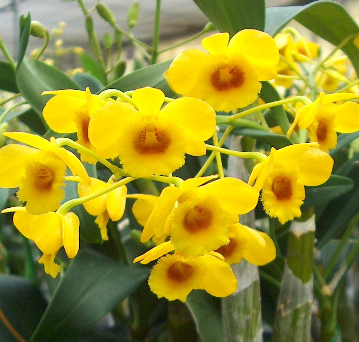 Дендробиум, орхидея. Уход в домашних условиях. Вопросы и 58