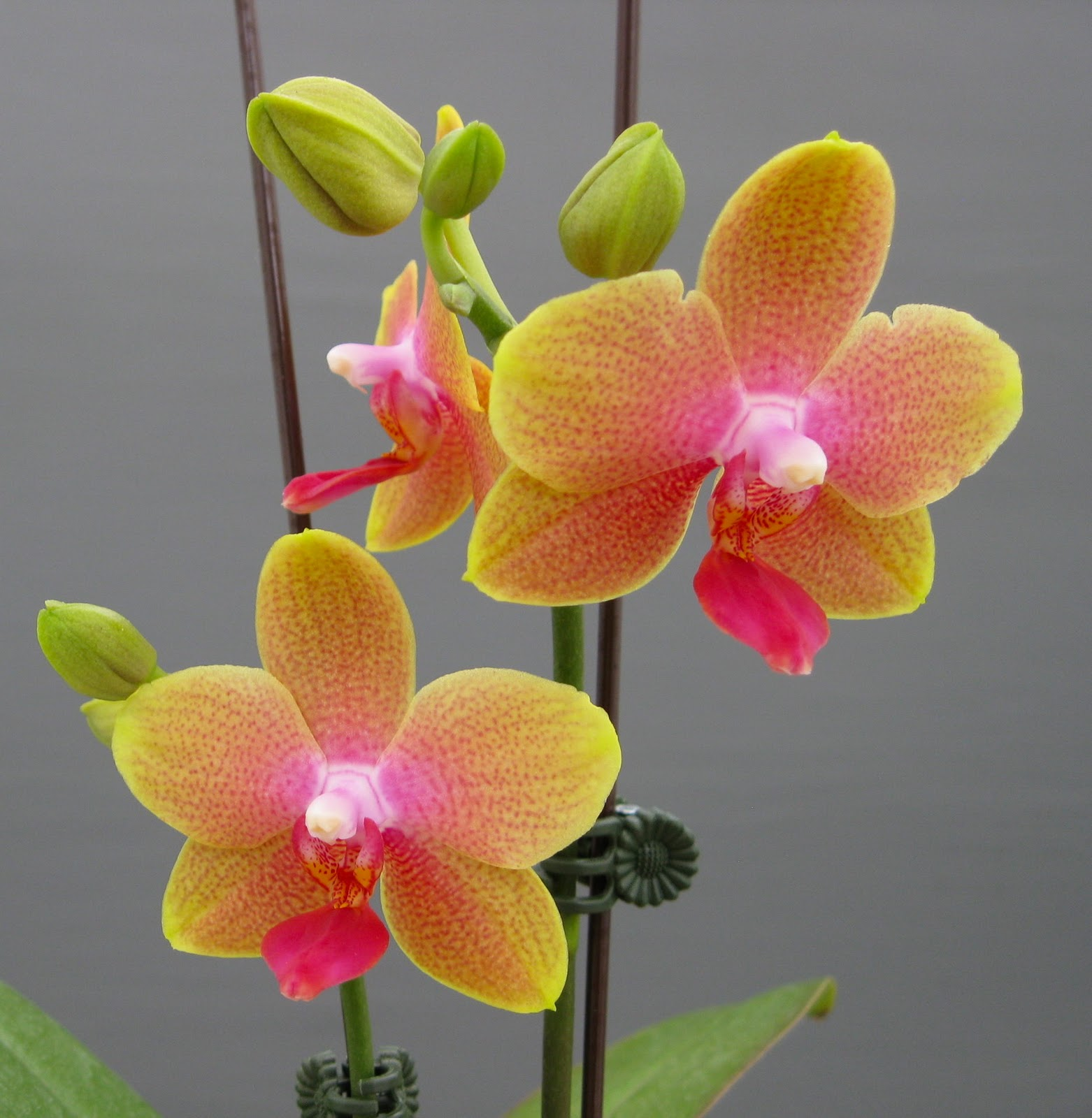 moth orchids and c...