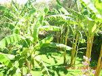 Banane di Villa Siotto