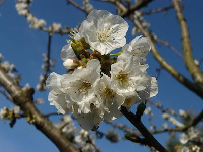 Amendoeira em flor no Sardão