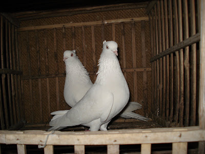 white tipper pigeon pair
