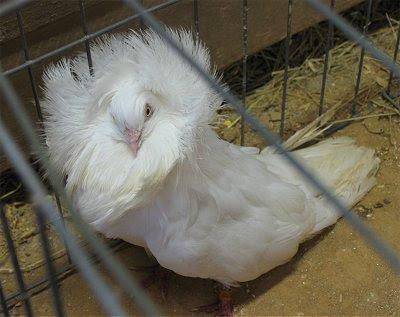 white jacobin pigeon