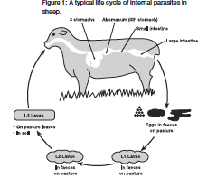 Know Your Goat also Diagram Of Male Reproductive Organs as well Sheep Reproductive System Diagram besides Mare Reproductive System Diagram as well Male Dog Anatomy Diagram. on pregnant goat reproductive system
