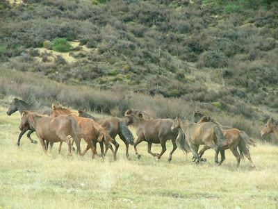 horses mating pics. Feral horses in New Zealand