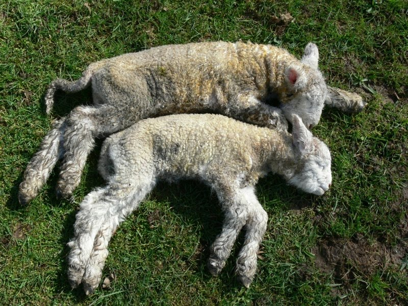 woolshed 1 nz sheep husbandry   managing ewes with