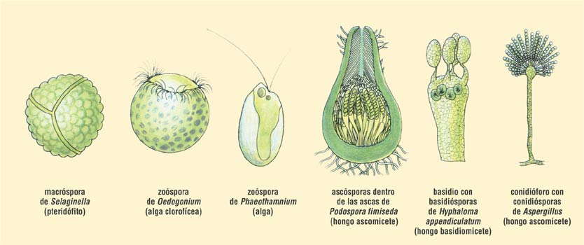 por fusión de núcleos de dos células parentales esporas asexuales