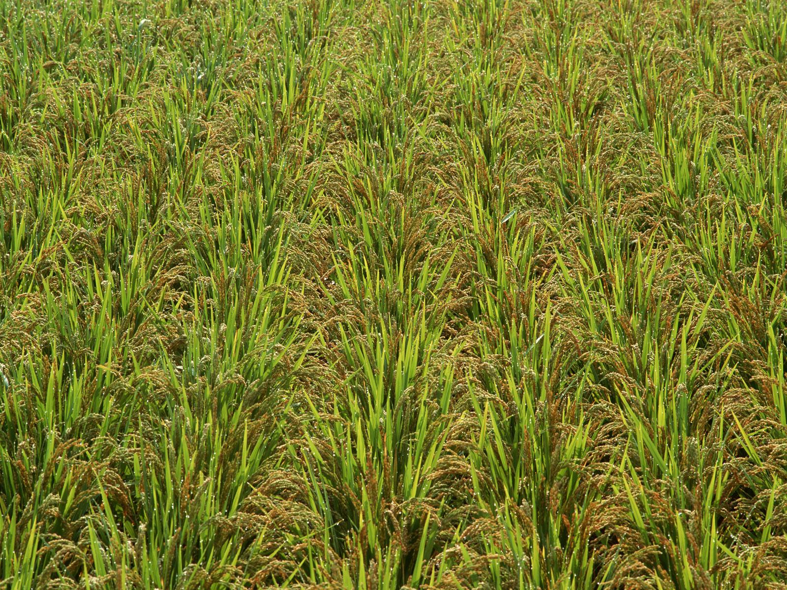 http://2.bp.blogspot.com/_W1ueYt1O3xs/TDsfCZ5f3AI/AAAAAAAAV3c/QZl1k3mCjLk/s1600/rice+farm+wallpapers+%2820%29.jpg