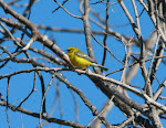 Blue-winged Warbler-Ohio
