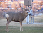 Deer - Rapid City, SD