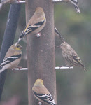 Pine Siskin and American Goldfinches