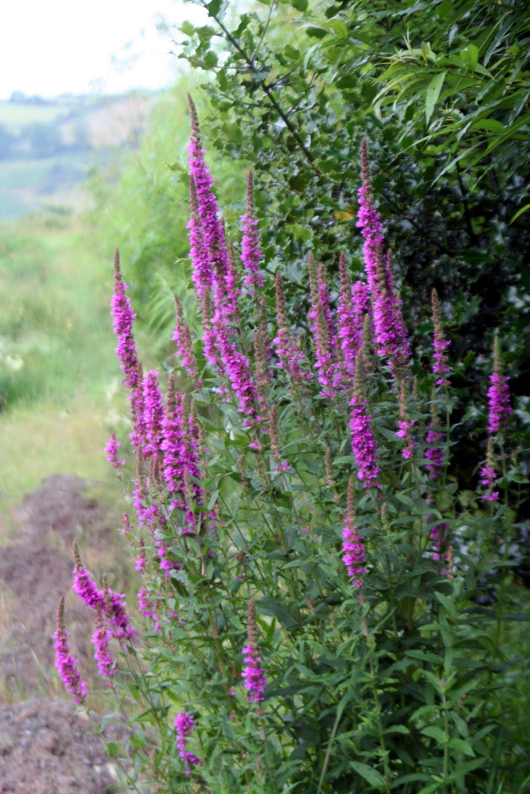purple loosestrife Biological control of invasive plants in the eastern united states - usda forest service southeast exotic pest plant council invasive plant manual - se-eppc biology and biological control of purple loosestrife - usda forest service.