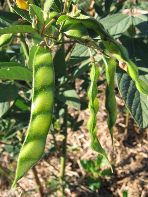 Herbal Gardens: Pigeon Pea