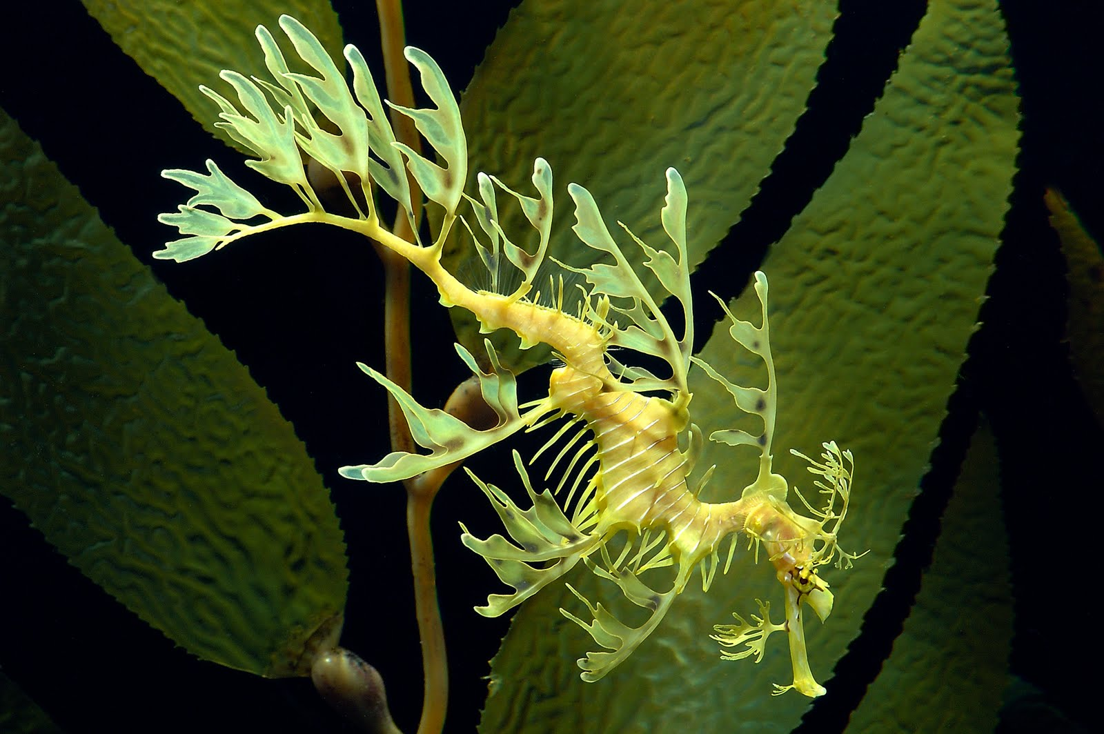 leafy sea dragon Find the perfect leafy sea dragon stock photos and editorial news pictures from  getty images download premium images you can't get anywhere else.